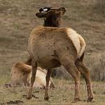 Magpie on ear of Elk