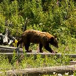 Shedding brown black bear