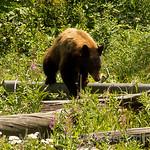 Black bear in Fire Weed.